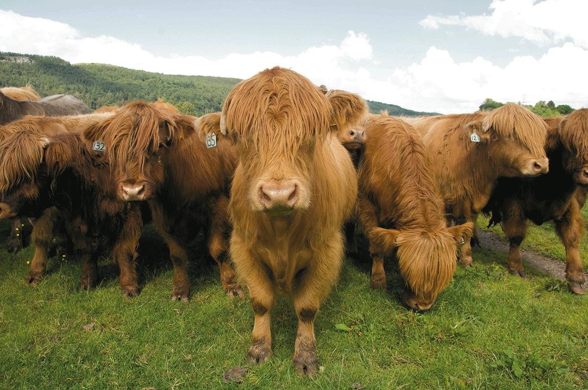 Färse, Jungbulle, Ochse – wie unterscheidet sich das Fleisch?
