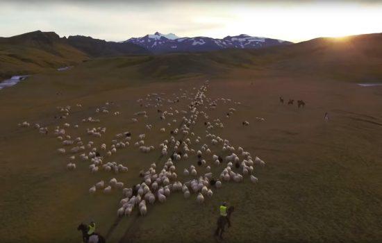 Der Abtrieb der Schafe – oder: Wie Isländer Feste feiern